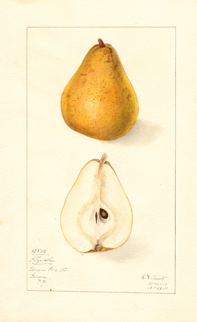 Pears, Fitzwater (1911)