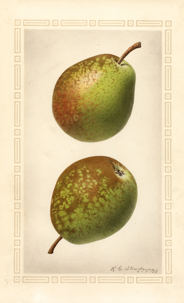 Pears, Flemish Beauty (1922)