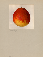 Pears, Flemish Beauty (1935)