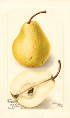 Pears, Florida Bartlett (1904)