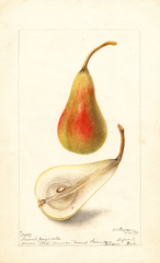 Pears, French Jargonelle (1899)