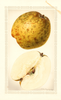 Pears, Pineapple (1928)