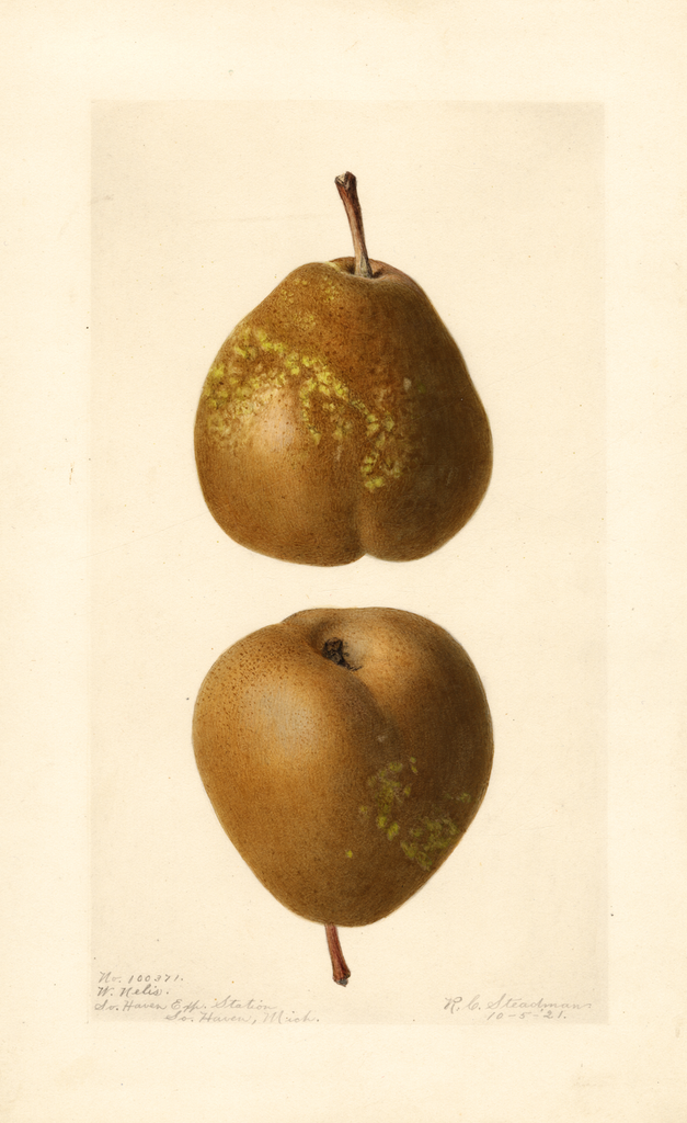 Pears, Winter Nelis (1921)