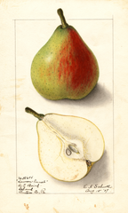 Pears, Lawson Comet (1907)