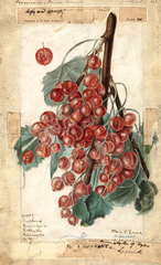 Gooseberries, Diploma (1909)