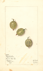 Gooseberries, Duplication (1912)