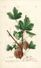 Gooseberries, Jewett (1894)
