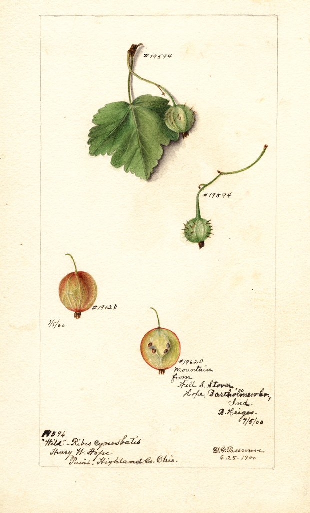 Gooseberries (1900)