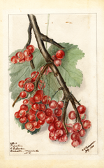 Gooseberries, Perfection (1903)