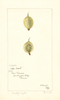 Gooseberries, White Smith (1897)