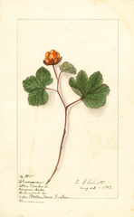 Cloudberry (1907)