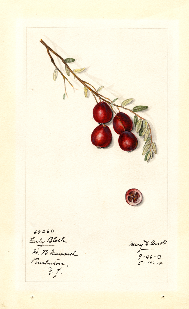American Cranberry, Early Black (1914)