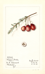 American Cranberry, Howard Bell (1914)