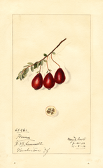 American Cranberry, Howes (1913)