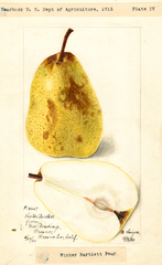 Pears, Winter Bartlett (1899)