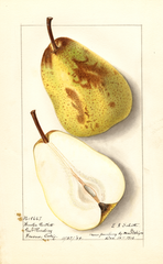 Pears, Winter Bartlett (1913)