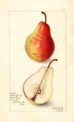 Pears, Wilder Early (1908)
