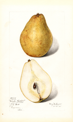Pears, Winter Bartlett (1915)