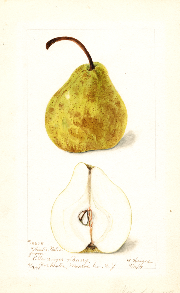 Pears, Winter Nelis (1899)