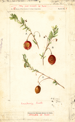 American Cranberry (1902)