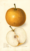 Pears, Japan Golden Russet (1906)