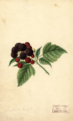 Black Raspberries, Johnstons Sweet (1891)