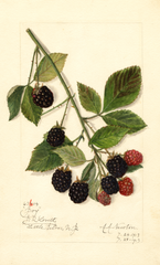 Blackberries, Joy (1913)
