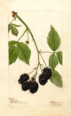 Blackberries, Kittatinny (1904)