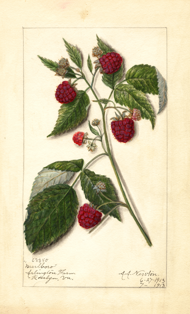 Red Raspberries, Marlboro (1913)