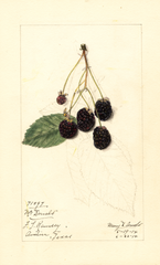 Blackberries, Mcdonald (1914)