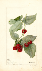 Red Raspberries, Miller (1895)