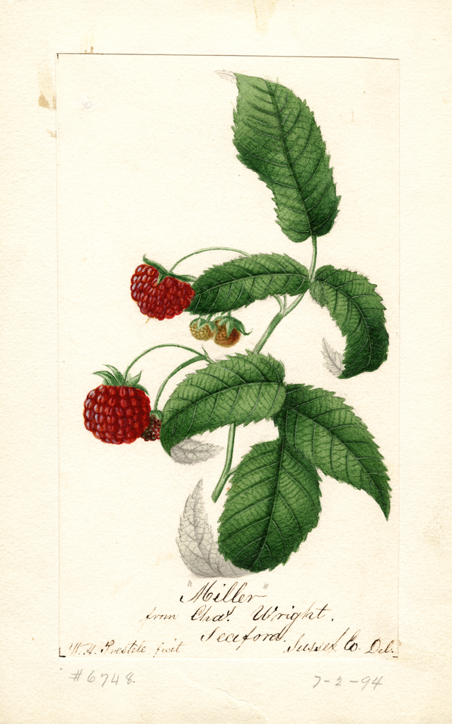 Red Raspberries, Miller (1894)