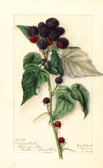 Black Raspberries, Black Pearl (1911)