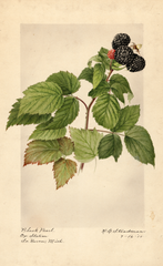 Black Raspberries, Black Pearl (1918)