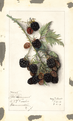 Blackberries, Black Diamond (1914)