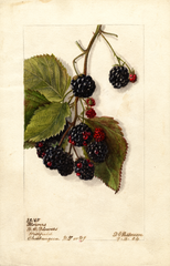 Blackberries, Blowers (1904)