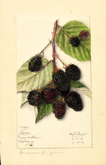 Blackberries, Blowers (1914)