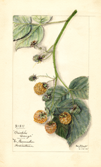 Red Raspberries, Brinkles Orange (1915)