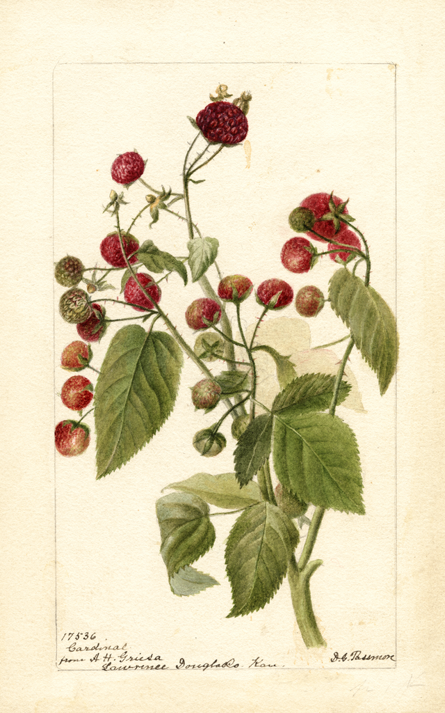 Purple Raspberries, Cardinal