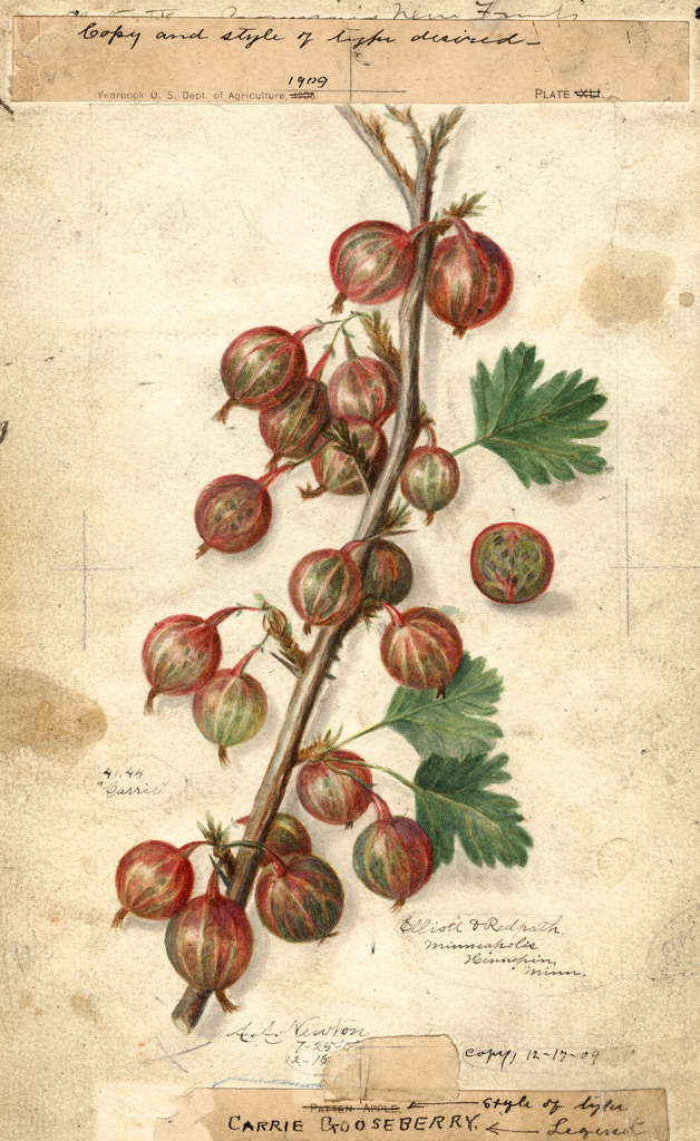 Gooseberries, Carrie (1909)