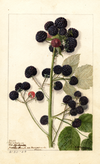 Black Raspberries, Cumberland (1904)