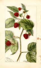Red Raspberries, Cuthbert (1904)