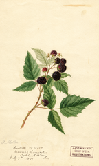 Black Raspberries, Doolittle (1891)