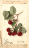 Red Raspberries, Eaton (1906)