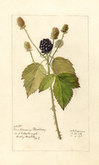Blackberries, Everblooming (1908)
