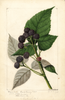 Black Raspberries, Ferndale (1893)