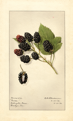 Blackberries, Garee (1916)