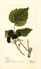 Black Raspberries, Gault (1895)