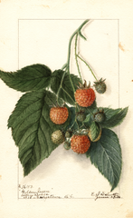 Red Raspberries, Golden Queen (1916)