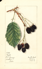 Blackberries, Haupt (1914)